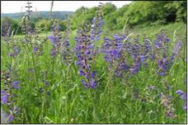 Wiesen-Salbei (Salvia pratensis)-