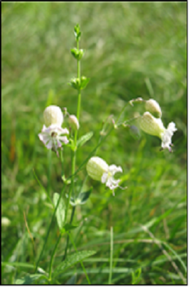 Aufgeblasenes Leimkraut, Klatschnelke (Silene vulgaris)-