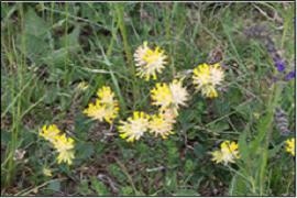 Echter Wundklee (Anthyllis vulneraria)-