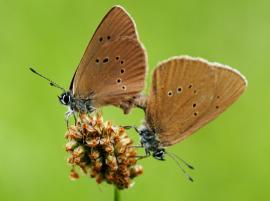 Wiesenknopf-Ameisenbläulinge-